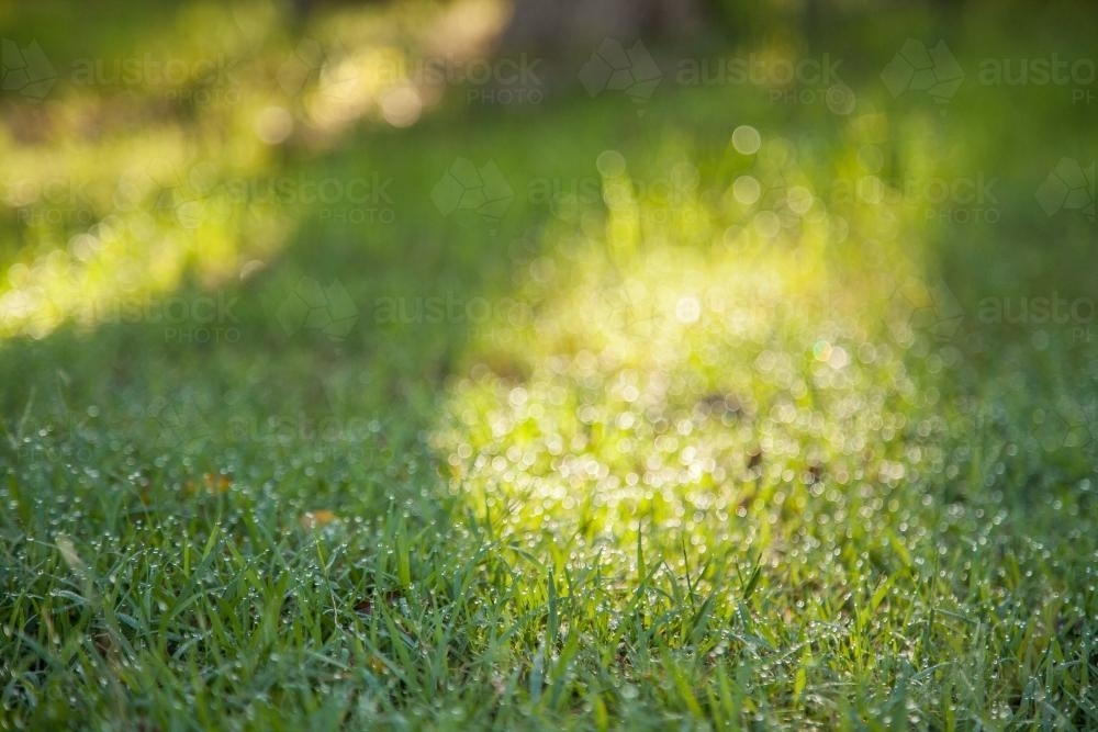 Green lawn grass sparkling in the morning light - Australian Stock Image
