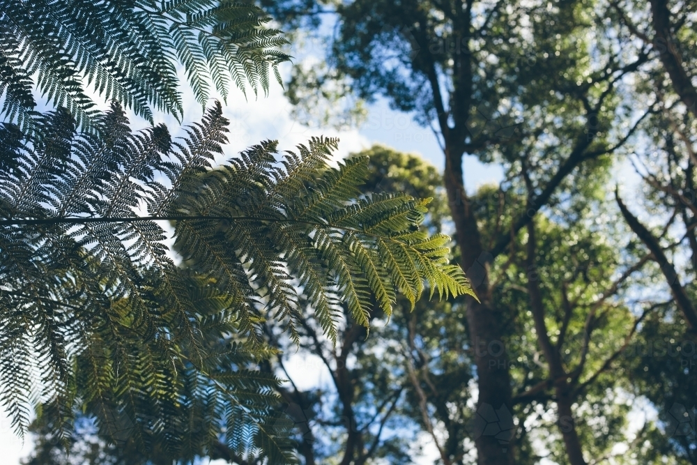 Green man fern frond with trees, blue sky and white clouds in the background - Australian Stock Image