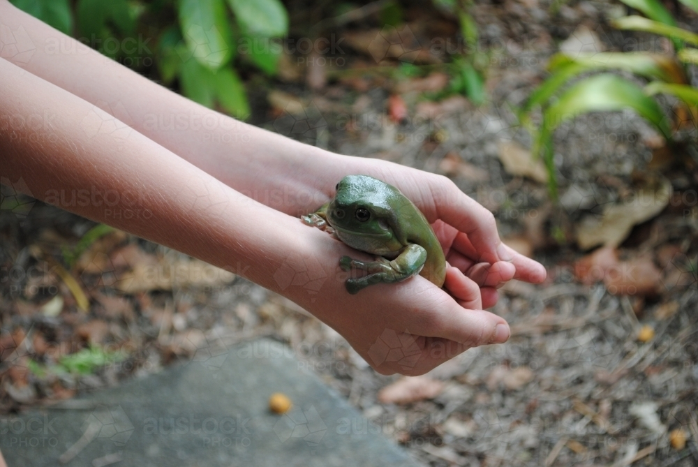 Green tree frog in the hands of a child - Australian Stock Image
