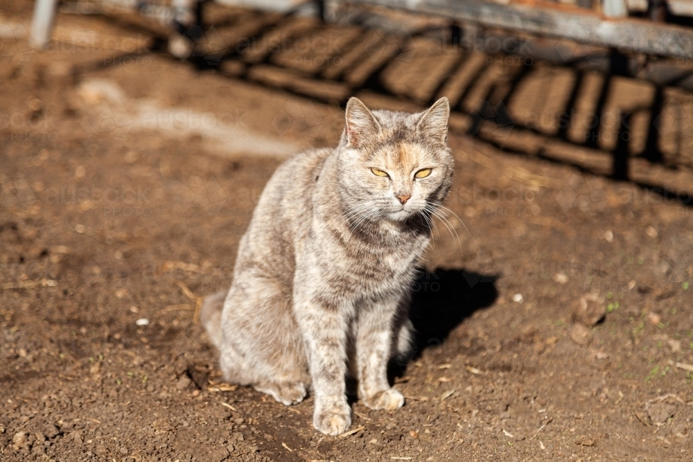 Grey cat resting in winter sun on farm - Australian Stock Image