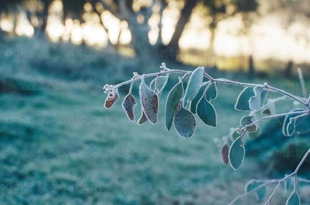 Gum leaf covered in frost - Australian Stock Image