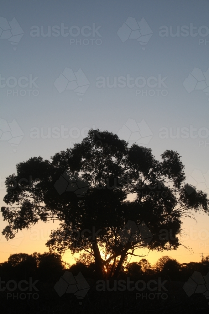 Gum tree silhouette at sunset - Australian Stock Image
