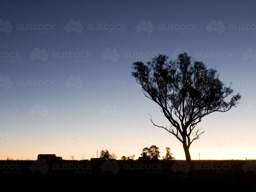 Gum tree silhouetted against low light sky - Australian Stock Image