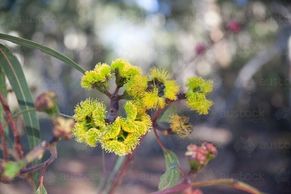 Gum Tree with yellow Blossoms - Australian Stock Image