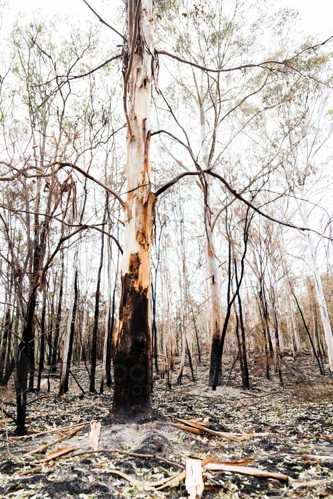 Gum trees and fallen dried leaves on fireground weeks after bushfire - Australian Stock Image