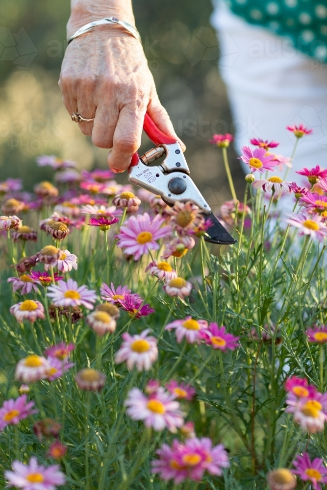 hand of elderly woman holding secateurs trimming daisy flowers - Australian Stock Image