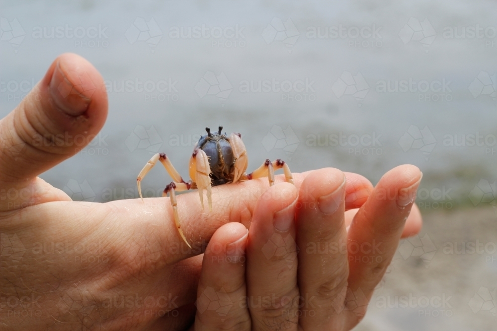 Hands holding a crab at the beach - Australian Stock Image