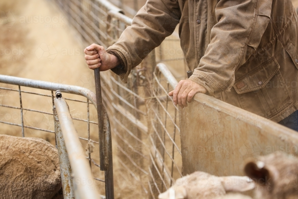 Hands of a stockman as he drafts ewes down a race - Australian Stock Image