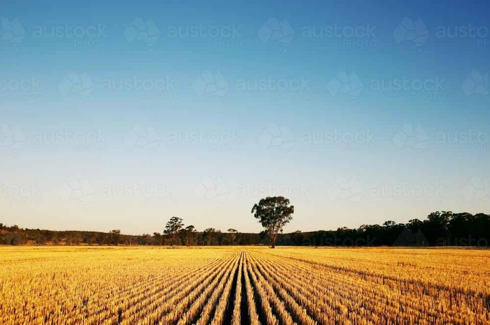 Harvested Wheat Crop - Australian Stock Image