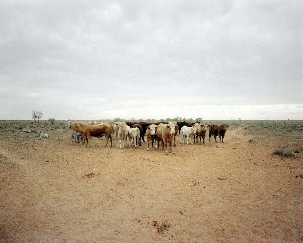 Herd of cattle gathered on remote NT station - Australian Stock Image