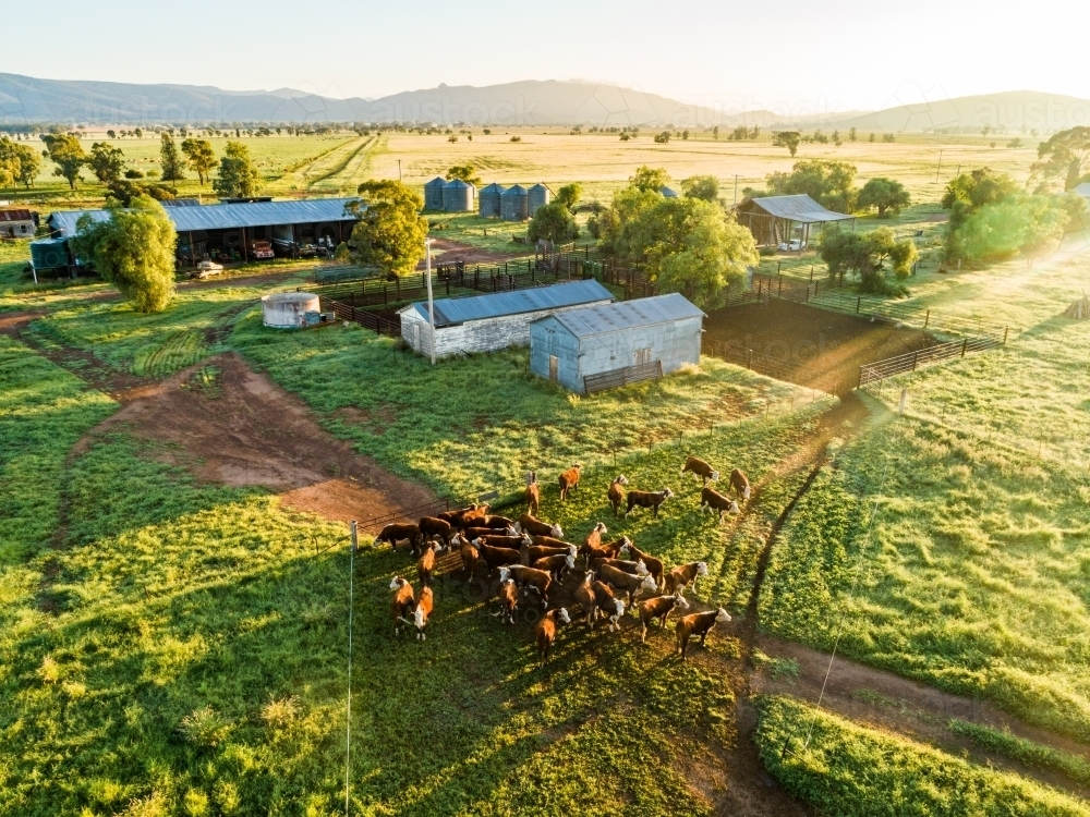 Hereford cattle walking through paddock towards farm yards for water - Australian Stock Image
