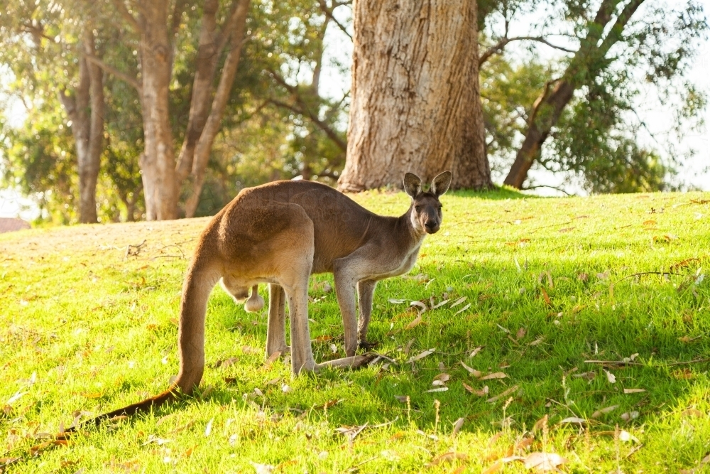 Kangaroos on green watered hillside in morning light - Australian Stock Image