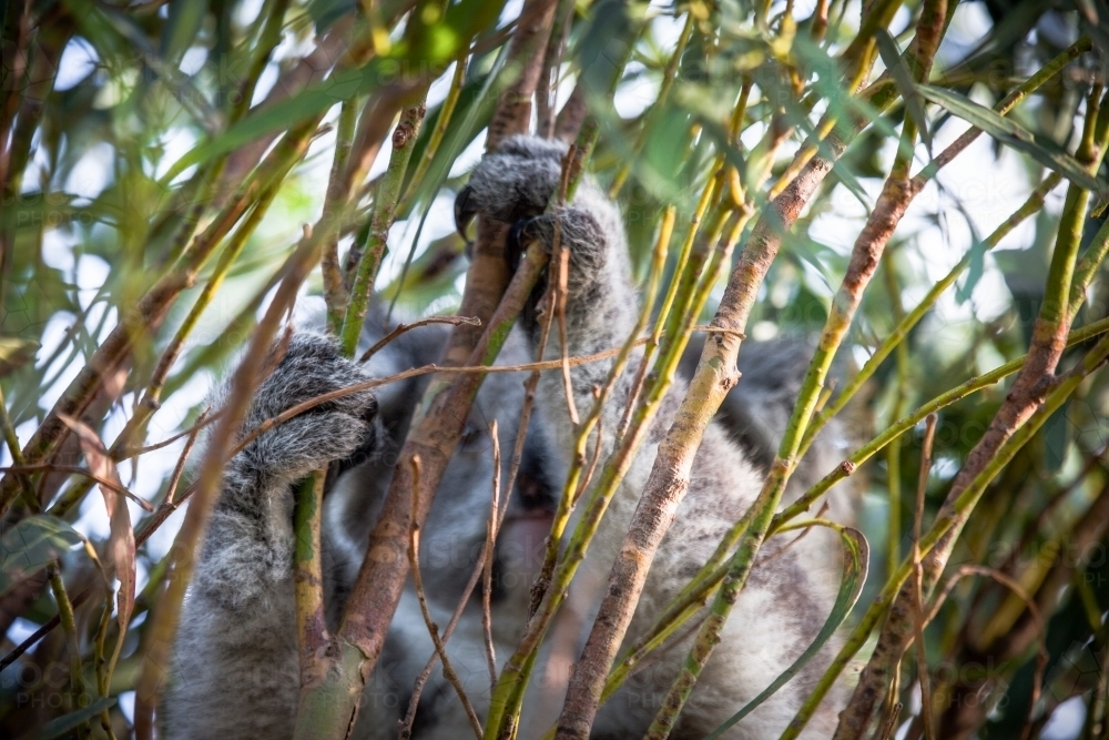 Koala hiding in tree - Australian Stock Image