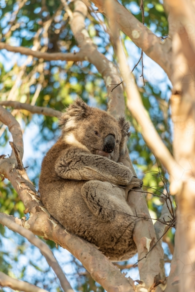 Koala in gum tree - Australian Stock Image