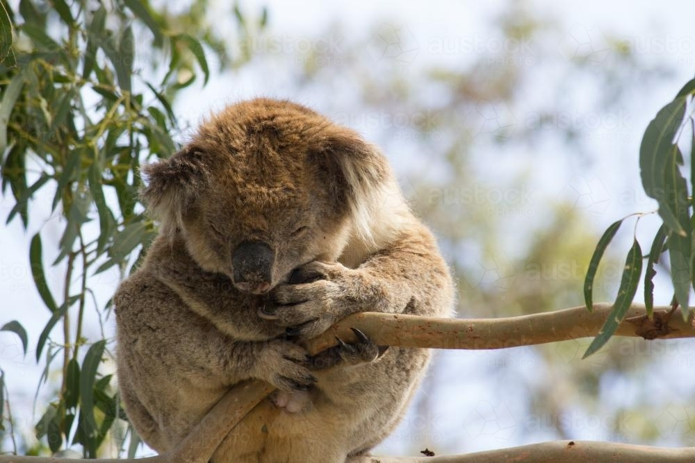 Koala sitting in a gum tree - Australian Stock Image