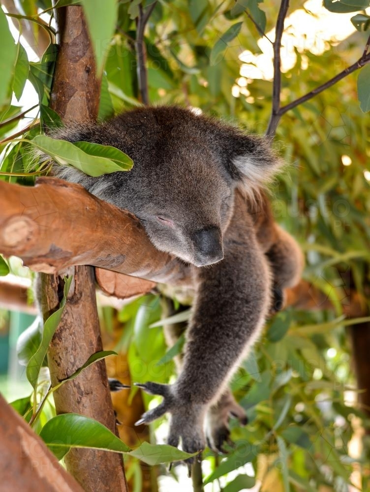 Koala sleeping lying on a branch - Australian Stock Image