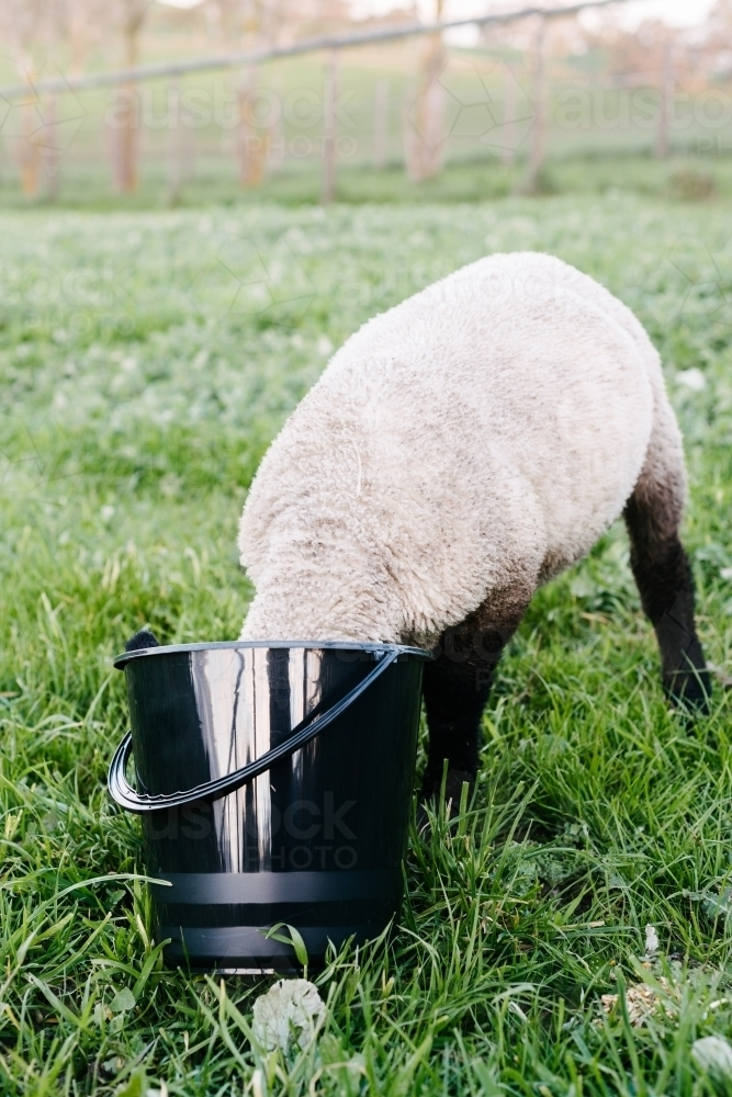 lamb eating, funny moment where his head is in the bucket - Australian Stock Image