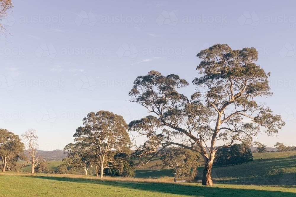 Large gum trees in rural Australian paddock - Australian Stock Image
