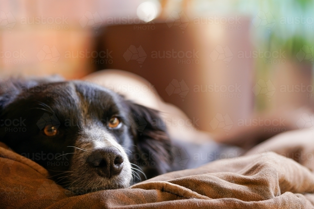 Lazy dog resting inside - Australian Stock Image