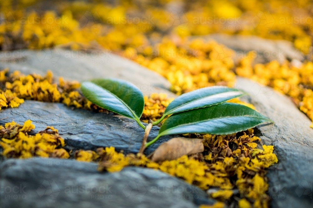 Leaves amongst vibrant yellow flowers on rocks - Australian Stock Image