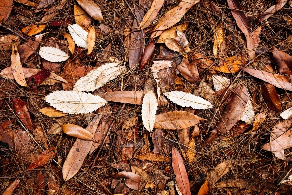 Leaves on the ground of a wet sclerophyll forest. - Australian Stock Image