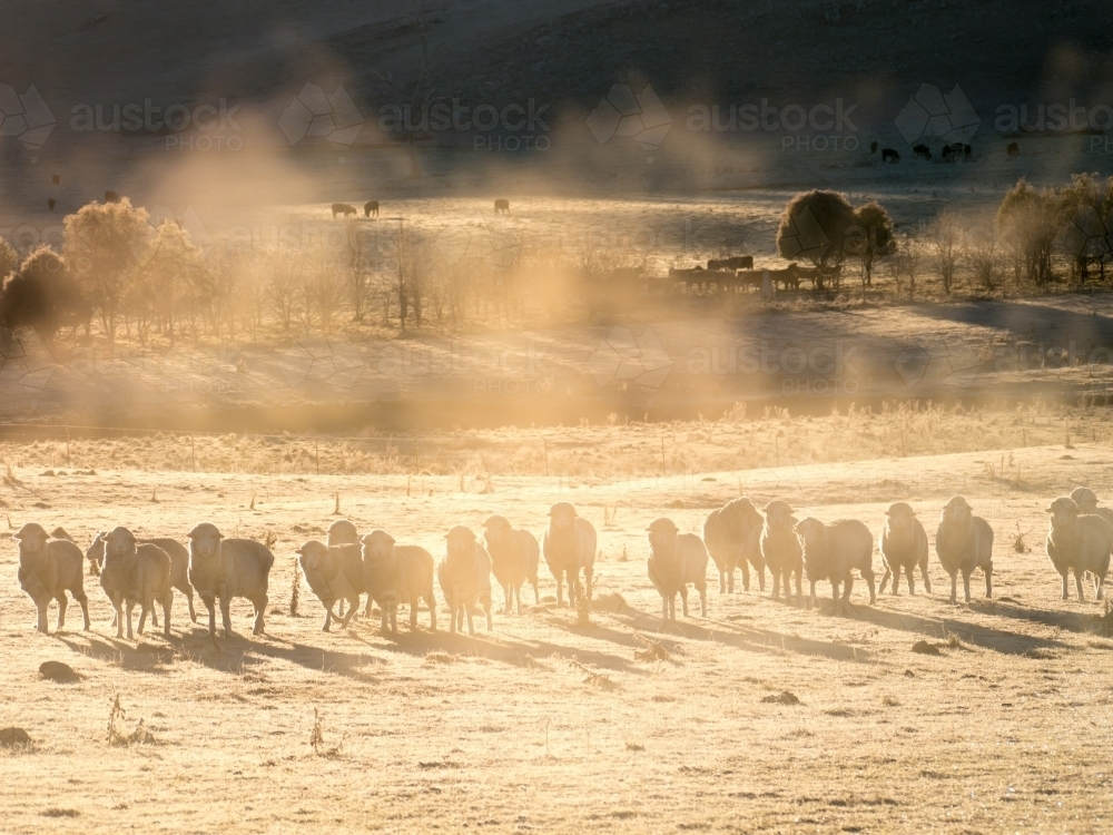 Line of sheep in early morning mist - Australian Stock Image