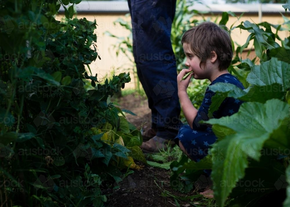 Little girl sitting in a veggie patch eating beans - Australian Stock Image
