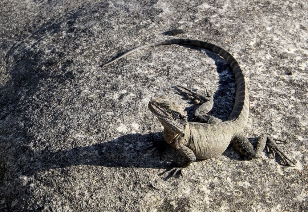 Lizard (Eastern Water Dragon) on sandstone rock - Australian Stock Image