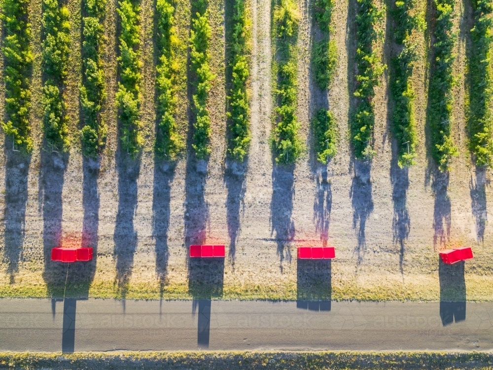 Looking down on empty fruit bins at the end of rows of fruit trees in an orchards - Australian Stock Image