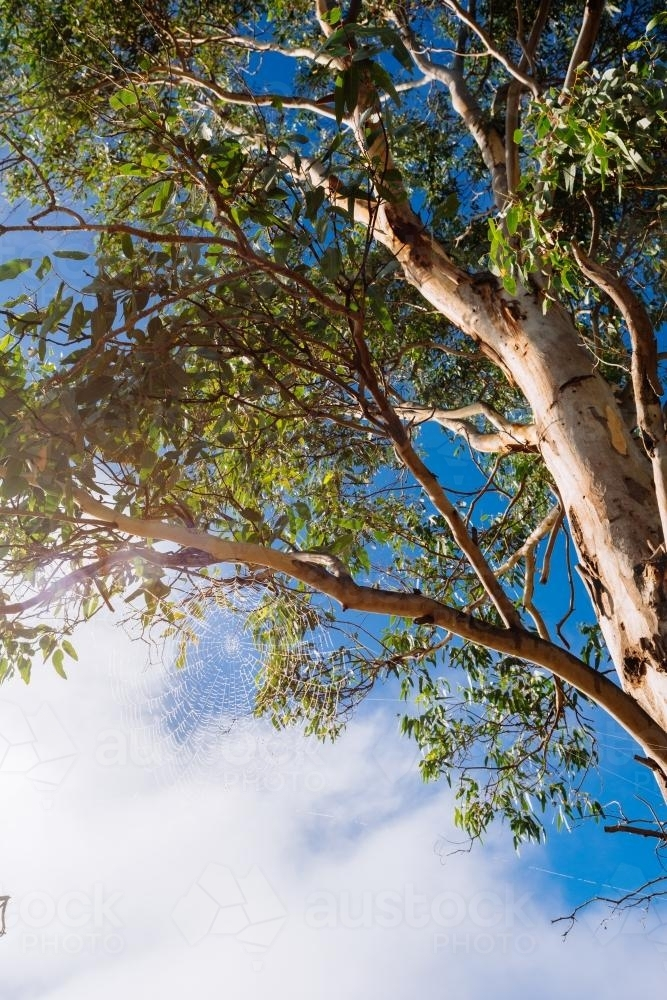 looking up at a gum tree with cobweb - Australian Stock Image