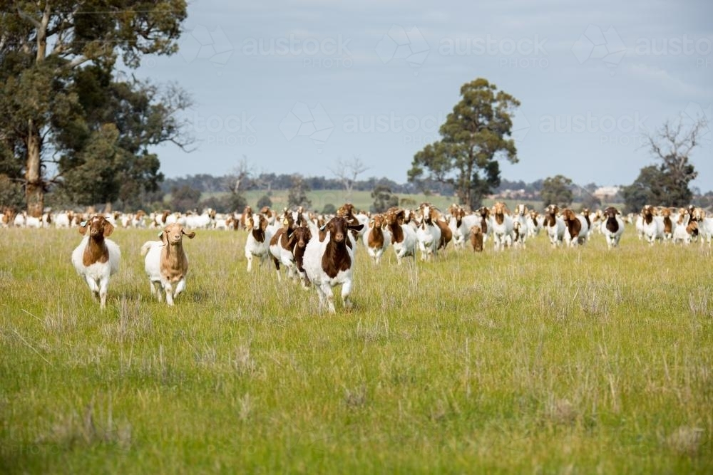 Lots of boer goats running in a paddock of green grass - Australian Stock Image