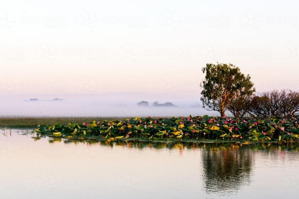 Lotus flowers on a river at dawn - Australian Stock Image