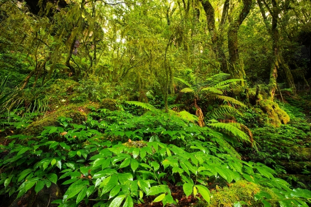 Lush subtropical rainforest of the New England area - Australian Stock Image
