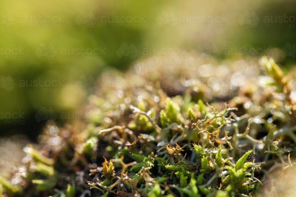 Macro close up of green moss and lichen plants covering rock - Australian Stock Image