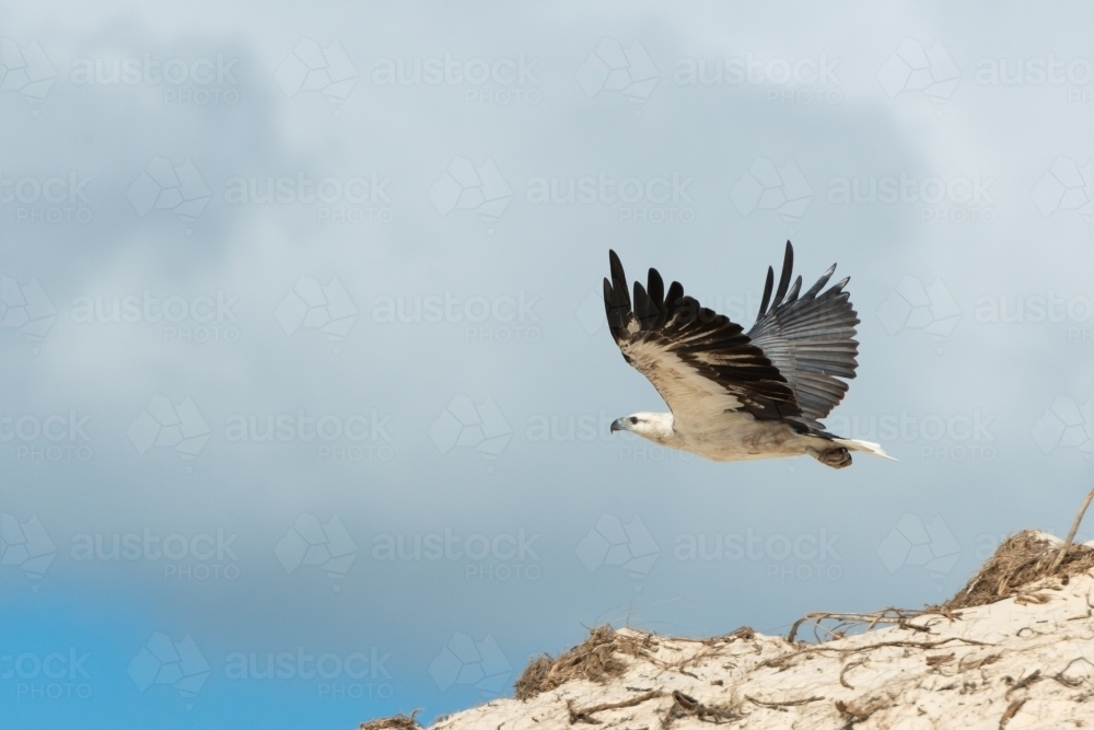 Magnificent White-bellied Sea-Eagle in flight above sand dunes - Australian Stock Image