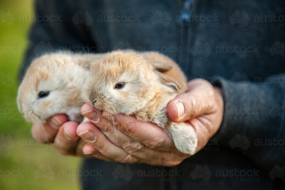 Man holding two baby bunny rabbits in his hands - Australian Stock Image