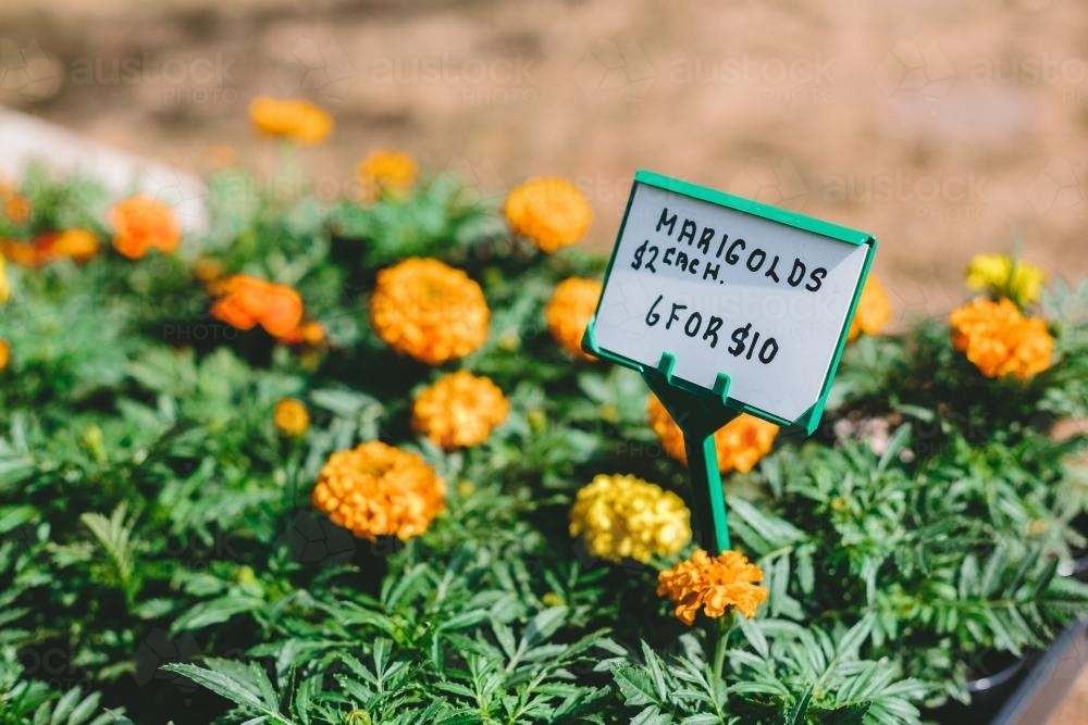Marigolds for sale in the sun - Australian Stock Image