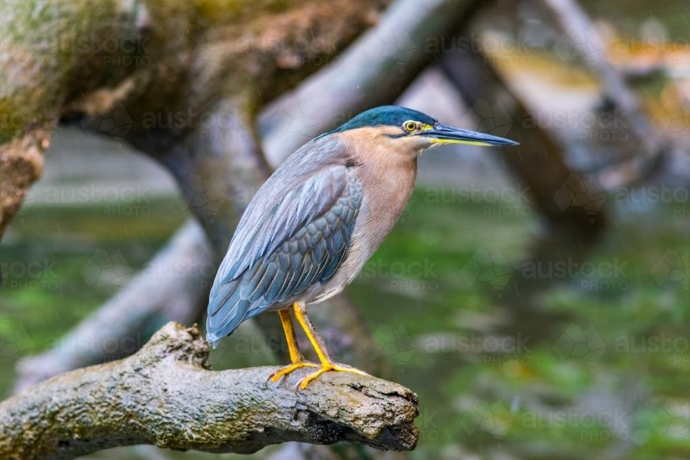 Nankeen Night Heron - Australian Stock Image