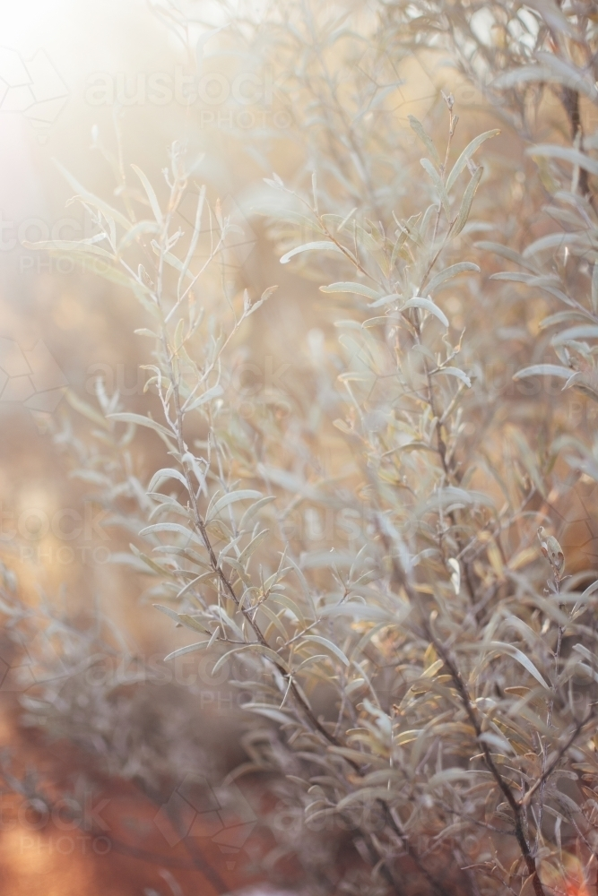 Native bush in soft light - Australian Stock Image