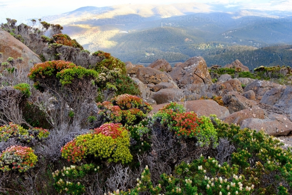 Native Plant Life on Summit of Mt Wellington - Australian Stock Image