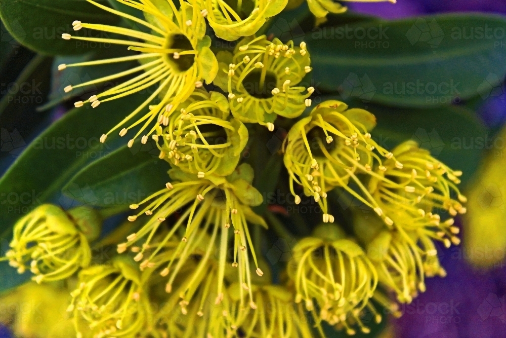 Image of native tree with yellow flowers golden penda xanthostemon native tree with yellow flowers golden penda xanthostemon chrysanthus australian stock image mightylinksfo