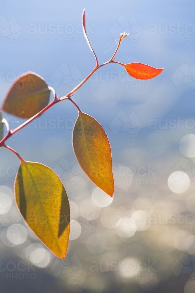 New gum leaf growth against sparkling water - Australian Stock Image