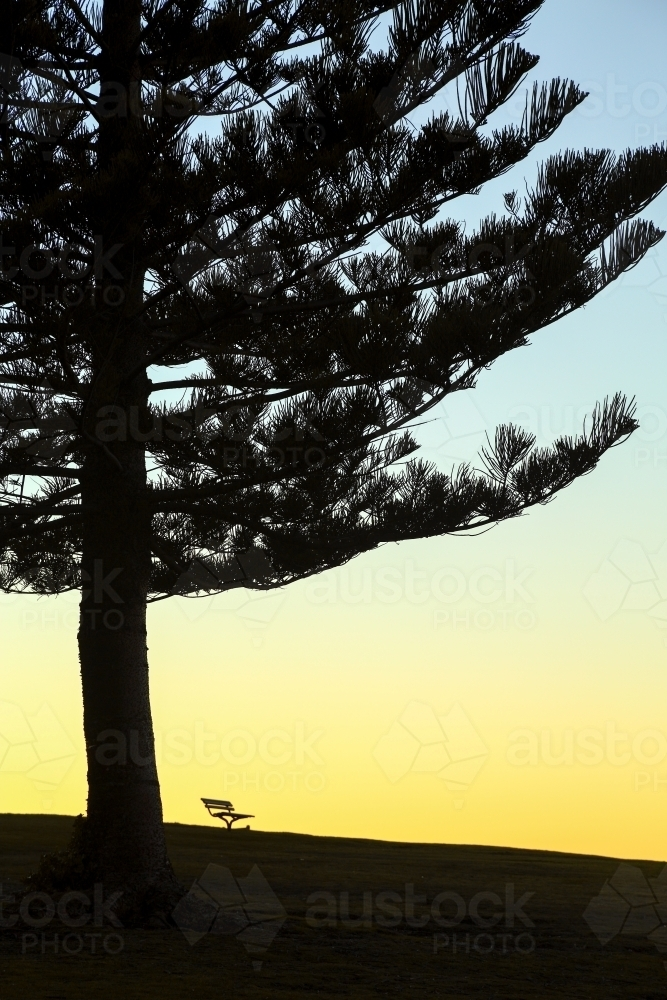 Norfolk Island Pine tree and a park bench silhouetted at Dawn - Australian Stock Image