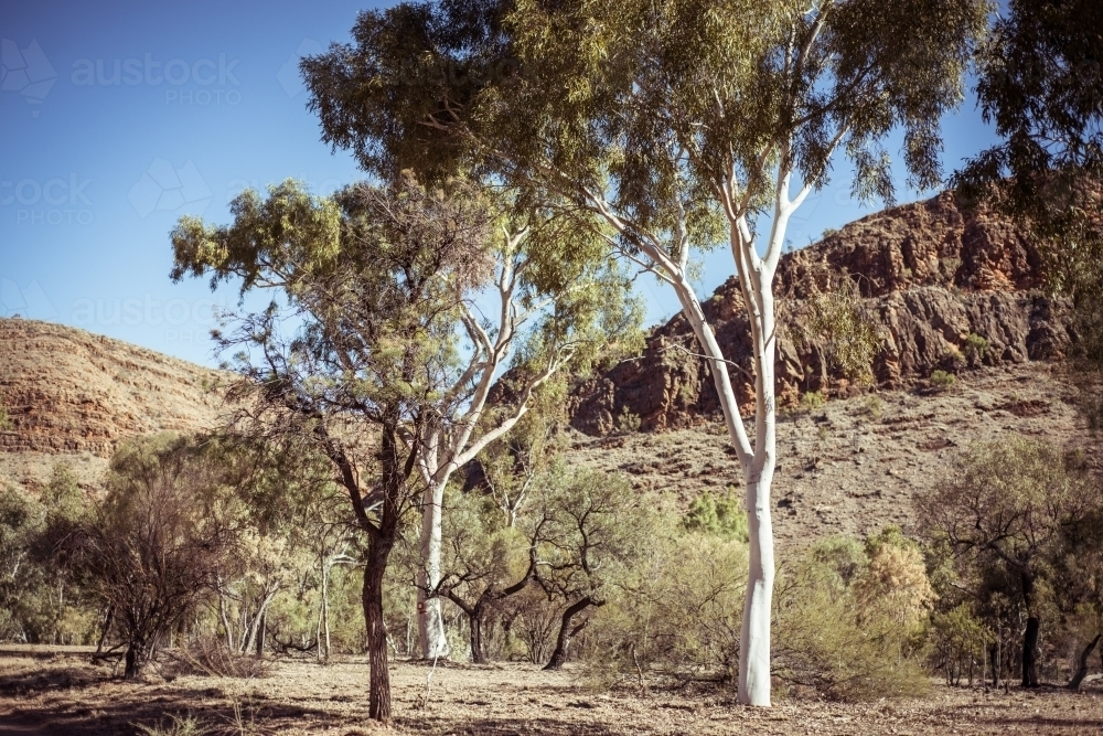 Northern Territory outback landscape of gum trees - Australian Stock Image