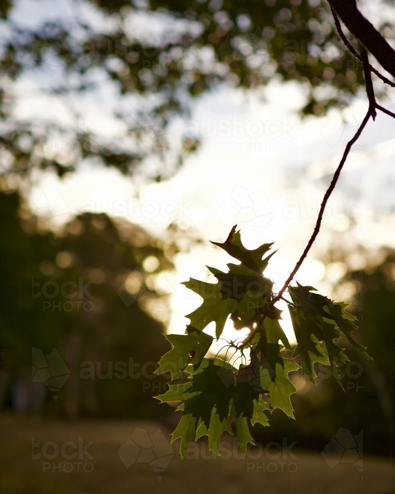 Oak tree branch and leaves at sunset - Australian Stock Image