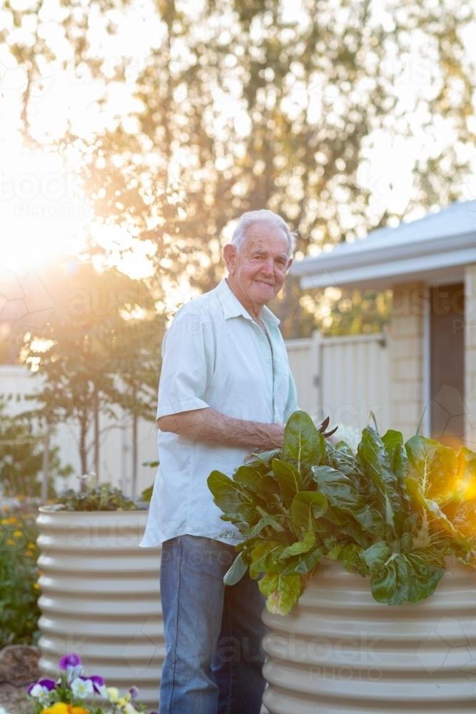 old man picking silverbeet in raised garden bed - Australian Stock Image