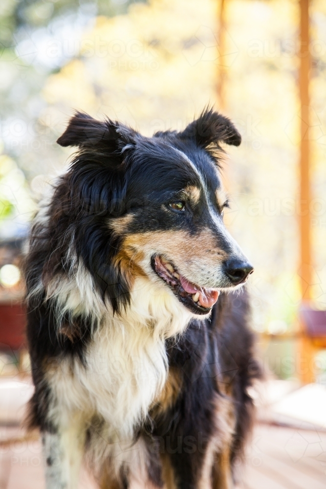 Old working farm dog on the veranda looking to the side - Australian Stock Image