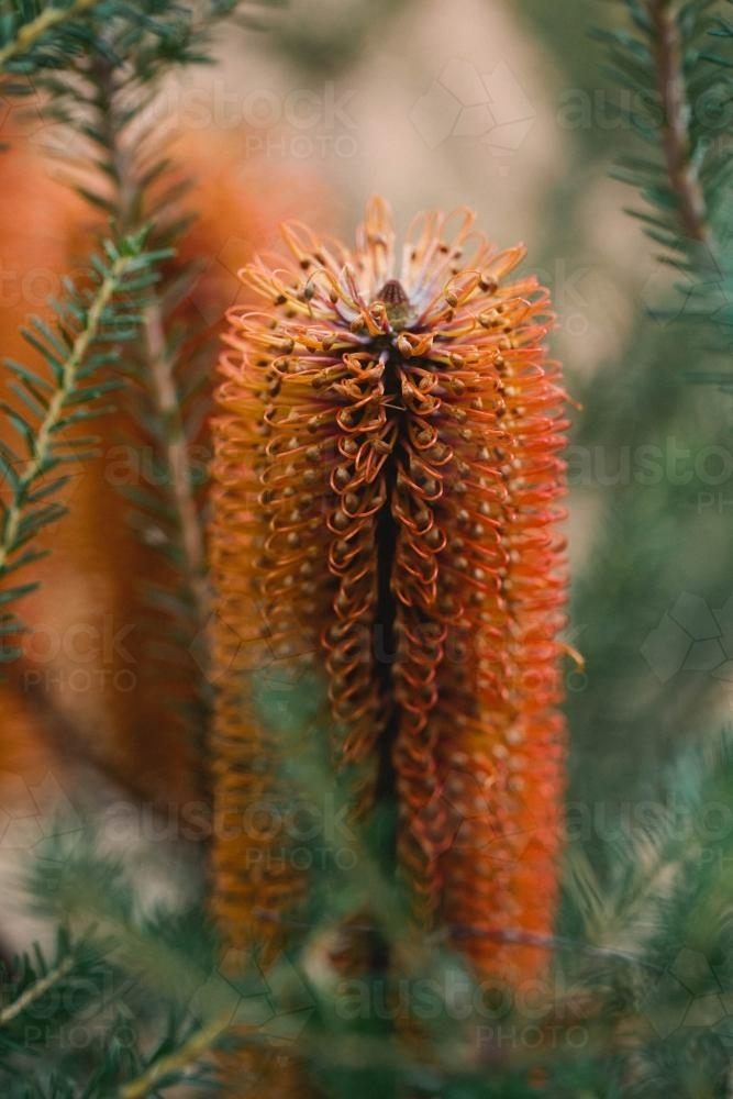 Orange Banksia flower - Australian Stock Image