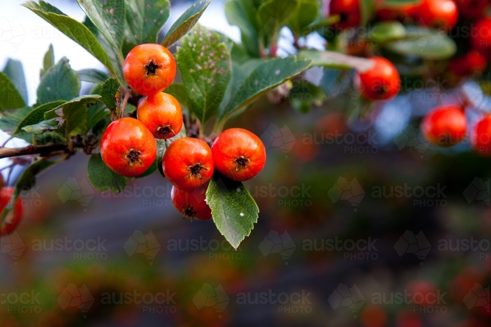 Orange hawthorn berries close up - Australian Stock Image