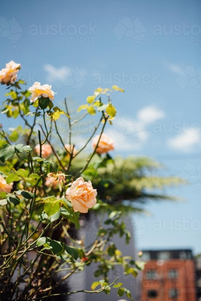 Orange roses in suburban garden - Australian Stock Image